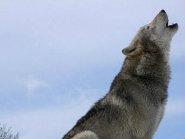 grey_wolf1 (2)