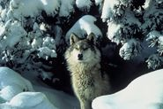 800px-Canis_lupus_standing_in_snow 2